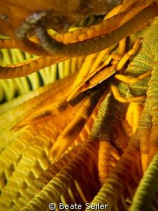 Yellow crinoid by Beate Seiler