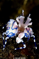 Harlequin Shrimp by Giancarlo Zambelli