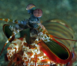 Mantis shrimp close up by Niall Deiraniya