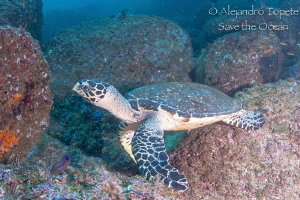 Turtle on the Rocks, Acapulco Mexico by Alejandro Topete