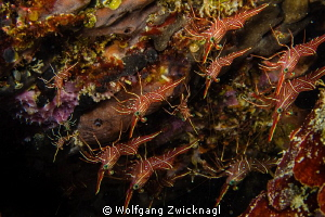 Some shrimps hanging upside down below a rock. Genus Rhyn... by Wolfgang Zwicknagl