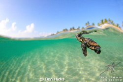 A loggerhead sea turtle starts out life in Palm Beach, Fl... by Ben Hicks