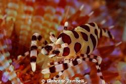 Emperor Shrimp by Giancarlo Zambelli