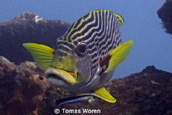 Diagonal Banded Sweetlip up close by Tomas Woren