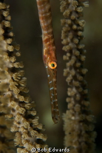 Juvenile Trumpetfish by Bob Edwards