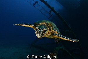 Turtle on Giannis D again by Taner Atilgan