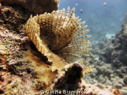 Feather duster worm Sabellastarte Indica by Cinzia Bismarck