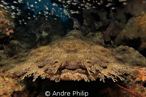 Face to face with a wobbegong - the flounder of the shark... by Andre Philip