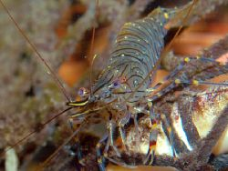 Glass Prawn on lobster kreel. Nikon D70. 50mm macro by Grant Kennedy