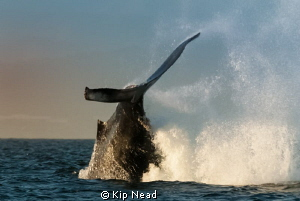 We went out for an early morning on Monterey Bay looking ... by Kip Nead