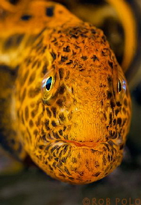 Wolf Eel, Browning Pass, Canada by Robert Polo