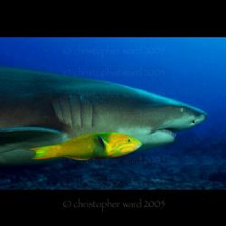 Moorea, French Polynesia. Wrasse and Lemon Shark skating ... by Christopher Ward