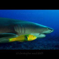 Moorea, French Polynesia. Wrasse and Lemon Shark skating ... by Christopher Ward