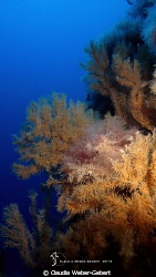 black corals ,