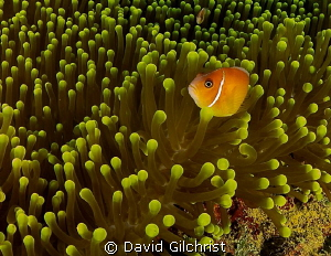 Anemone with Clownfish. Image digitally edited with Light... by David Gilchrist
