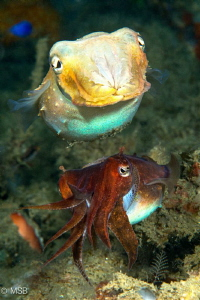 Two cuttlefish have different characters. Bottom one need... by Mehmet Salih Bilal