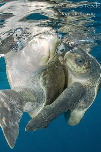 Turtles mating close, Puerto Vallarta Mexico by Alejandro Topete