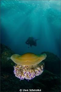 Cassiopea mediterranea by Uwe Schmolke