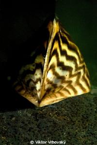 Zebra Mussel (Dreissena polymorpha) by Viktor Vrbovský