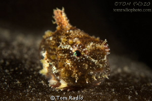 Juvenile Spiny Pacific Lumpsucker