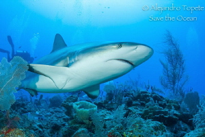 Reef Shark Encounter, Gardens of the Queen Cuba by Alejandro Topete