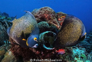 Queen angels at Windsock, Bonaire. Can you see the bristl... by Robert Michaelson