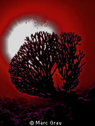 Coral in red by Marc Grau