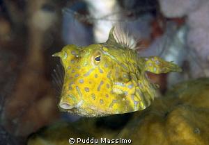 cowfish,nikon D800e,105 micro.Gangga island by Puddu Massimo