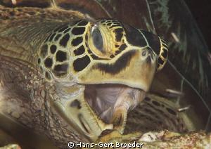 Green turtle Bunaken,Sulawesi,Indonesia, Bunaken Islands  by Hans-Gert Broeder
