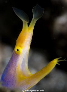 Portrait shot of yellow ribbon eel. Shot with 100mm lens by Marteyne Van Well