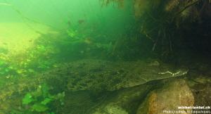 Encounter with this more than 3m50 Nil Crocodile - Okavan... by Michel Lonfat