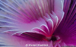 A Feather Duster Tube Worm in Sinandigan Wall. Puerto Gl... by Maziar Momtazi