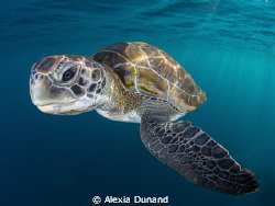 Curiosity. Turtle on Tenerife. by Alexia Dunand
