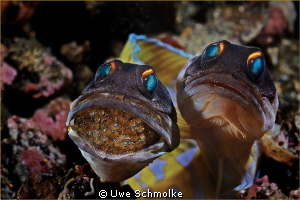 Next generation -  Jawfishes with eggs.  Have fun watc... by Uwe Schmolke