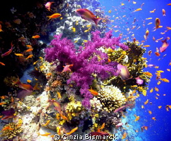 Violet Soft Coral with Anthias Explosion!