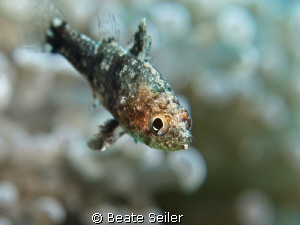 very small fish in a anemone by Beate Seiler