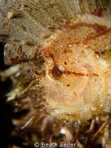 the face of a leaf scorpian fish by Beate Seiler