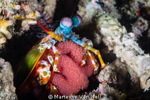 Mantis Shrimp with eggs at Arthur's Rock, Anilao, Philipp... by Marteyne Van Well