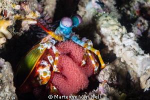Mantis Shrimp with eggs at Arthur's Rock, Anilao, Philipp... by Marteyne Van Well