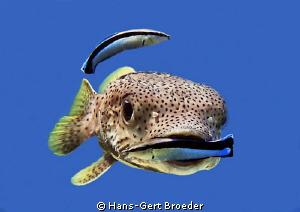 Porcupinefish Don't eat your cleaner ! Bunaken,Sulawesi... by Hans-Gert Broeder