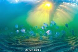 lookdowns under Deerfield Beach Pier in Florida by Ben Hicks