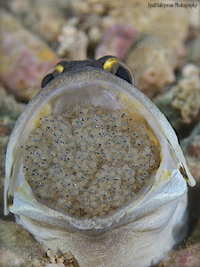 Jawfish with eggs by Iyad Suleyman