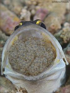 Jawfish with eggs by Iyad Suleyman
