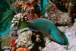 Stoplight Parrotfish and coral. Taken off Aruba. Nikonos ... by Matthew Shanley