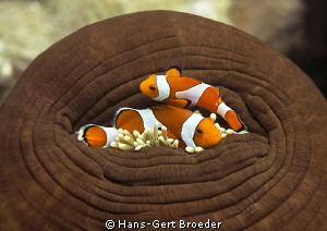 Clownfish Please open the door!! natural light by Hans-Gert Broeder