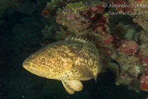 Goliat Gruper in cave, Xcalac Mexico by Alejandro Topete