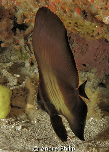 juvenile longfin batfish by Andre Philip