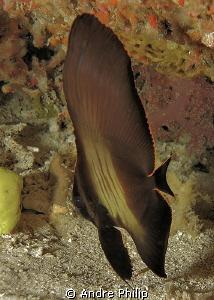 juvenile longfin batfish by Andre Philip