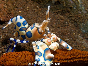 A beautiful harlequinn shrimp at Seraya by Christian Nielsen