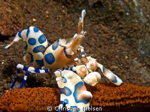 A beautiful harlequinn shrimp at Seraya by Christian Nielsen
